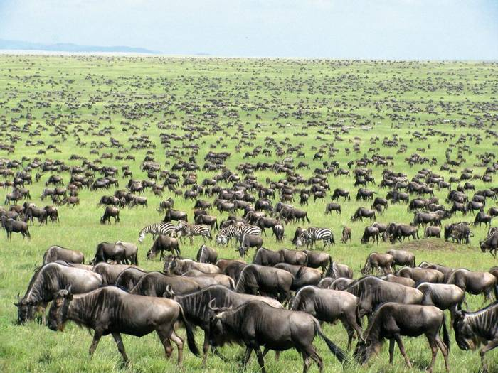 Blue Wildebeest and Plains Zebra