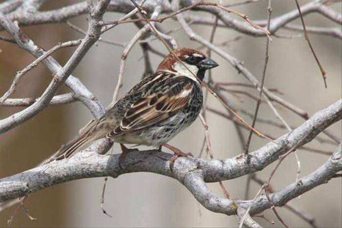 Spanish Sparrow (Alan Outen)
