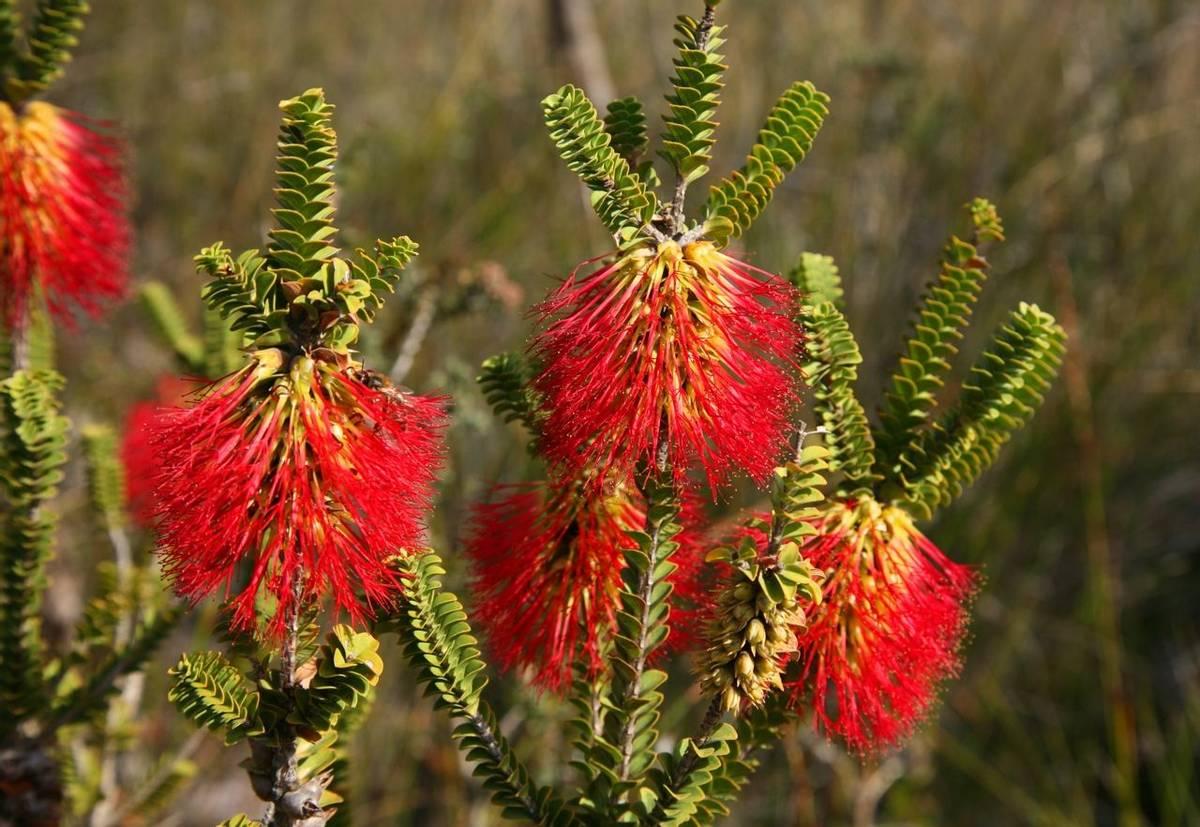 Bottlebrush (Beaufortia decussata) Stirling Range National Park