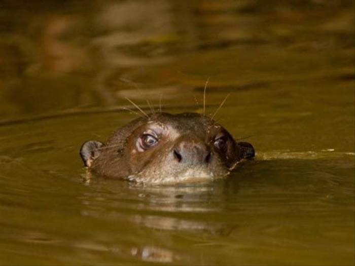 Giant Otter (Mike Galtry)