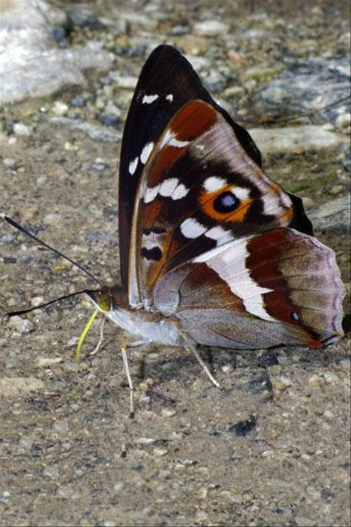Purple Emperor (Tony Daniels)