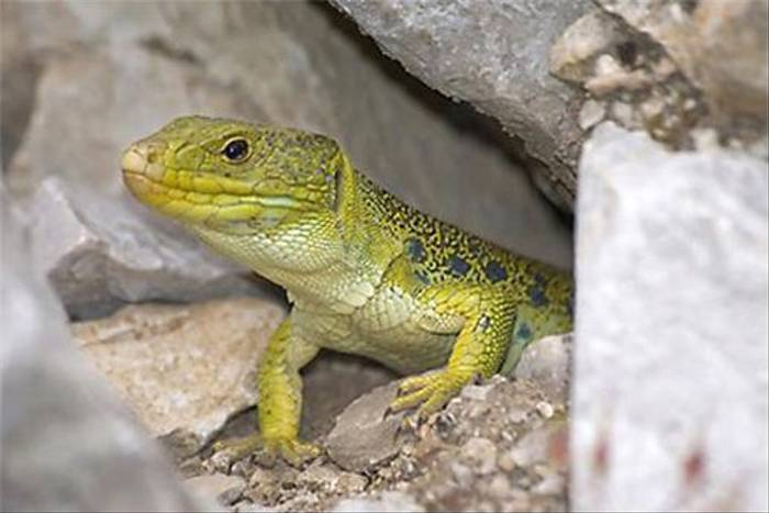 Ocellated Lizard (Matt Hobbs)