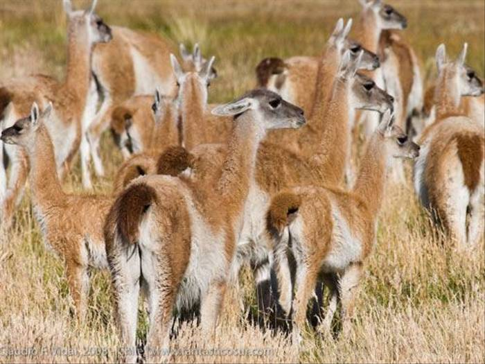 Herd of Guanaco (Claudio Vidal)