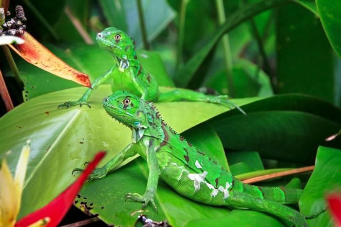 Green Iguanas, Costa Rica Shutterstock 779554786