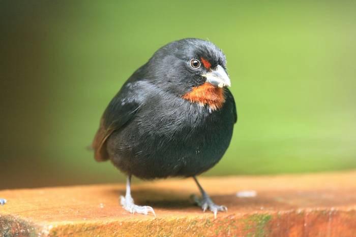 Lesser Antillean Bullfinch, St Lucia (male)