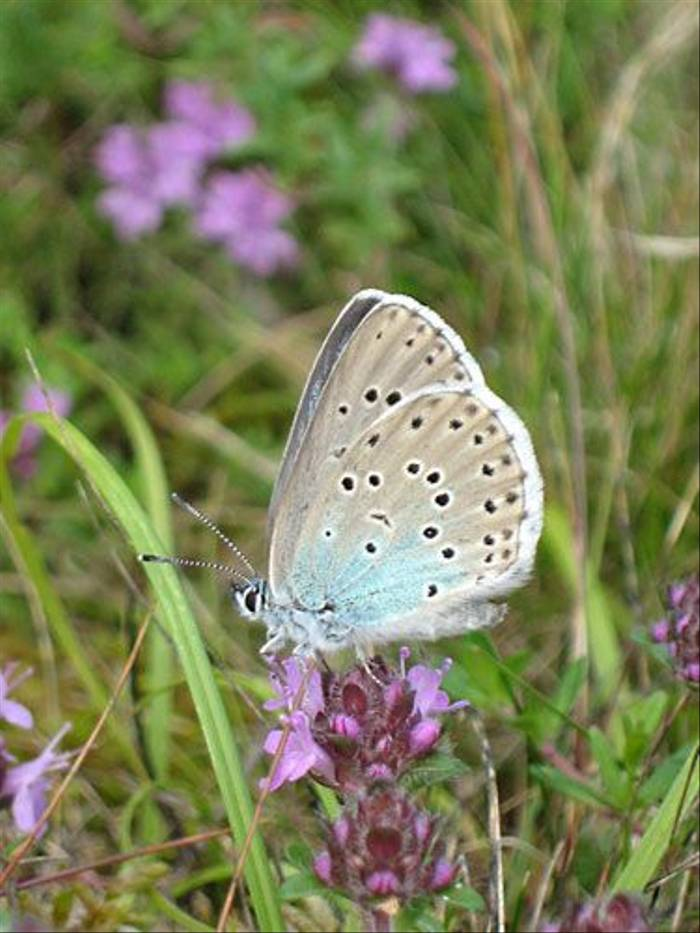Large Blue (Daniel Green)