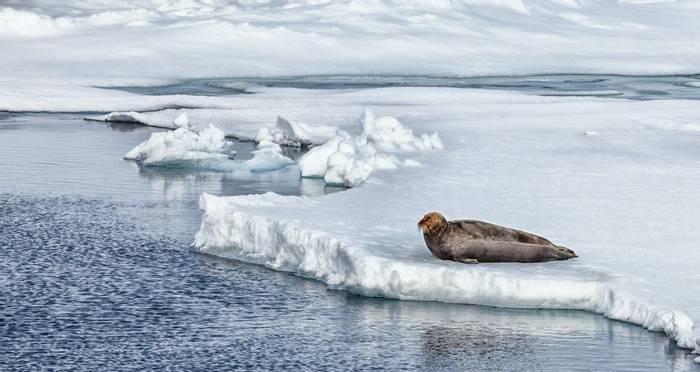 Bearded Seal (Peter Stott).jpg