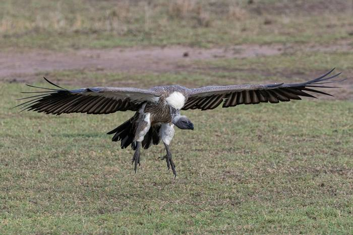 White-backed Vulture (Iain McFadyen).jpg