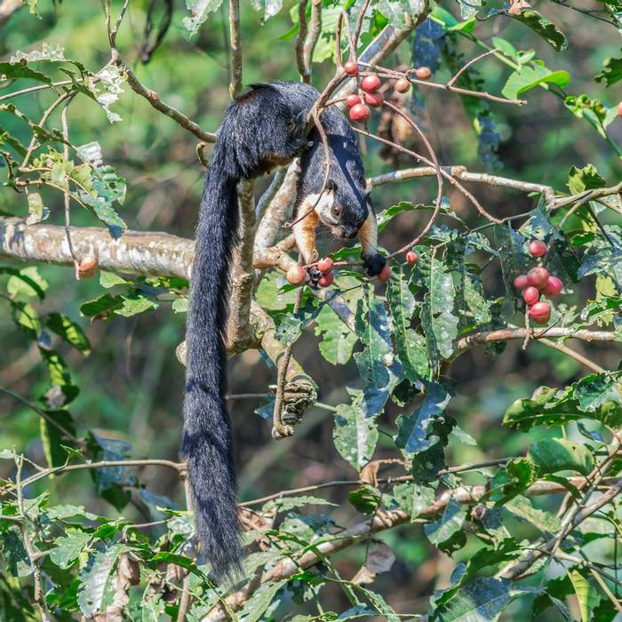 Black Giant Squirrel, Nameri National Park, India shutterstock_1283295928.jpg