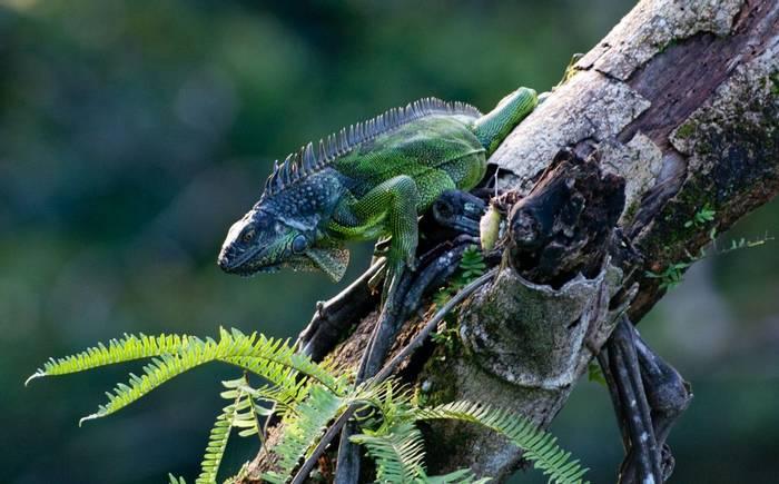 Green Iguana (Tarina Hill)