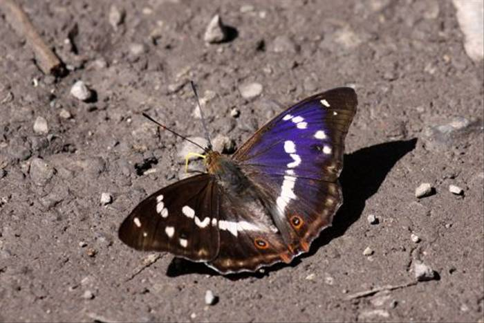 Purple Emperor (Gerald Broddelez)