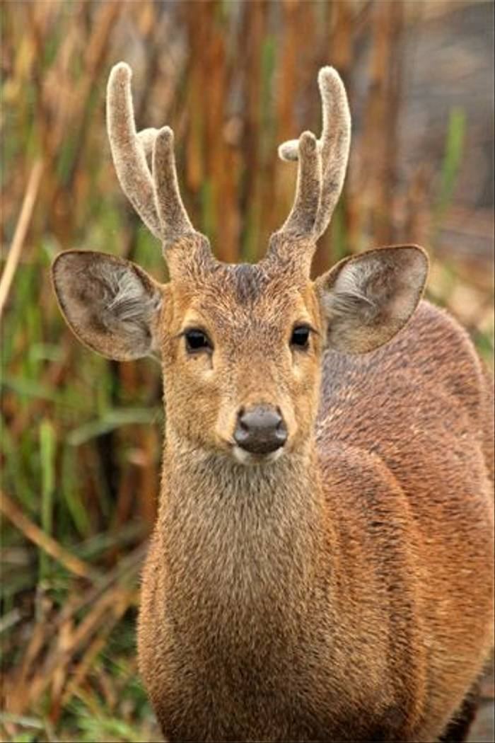 Hog Deer (Bret Charman)