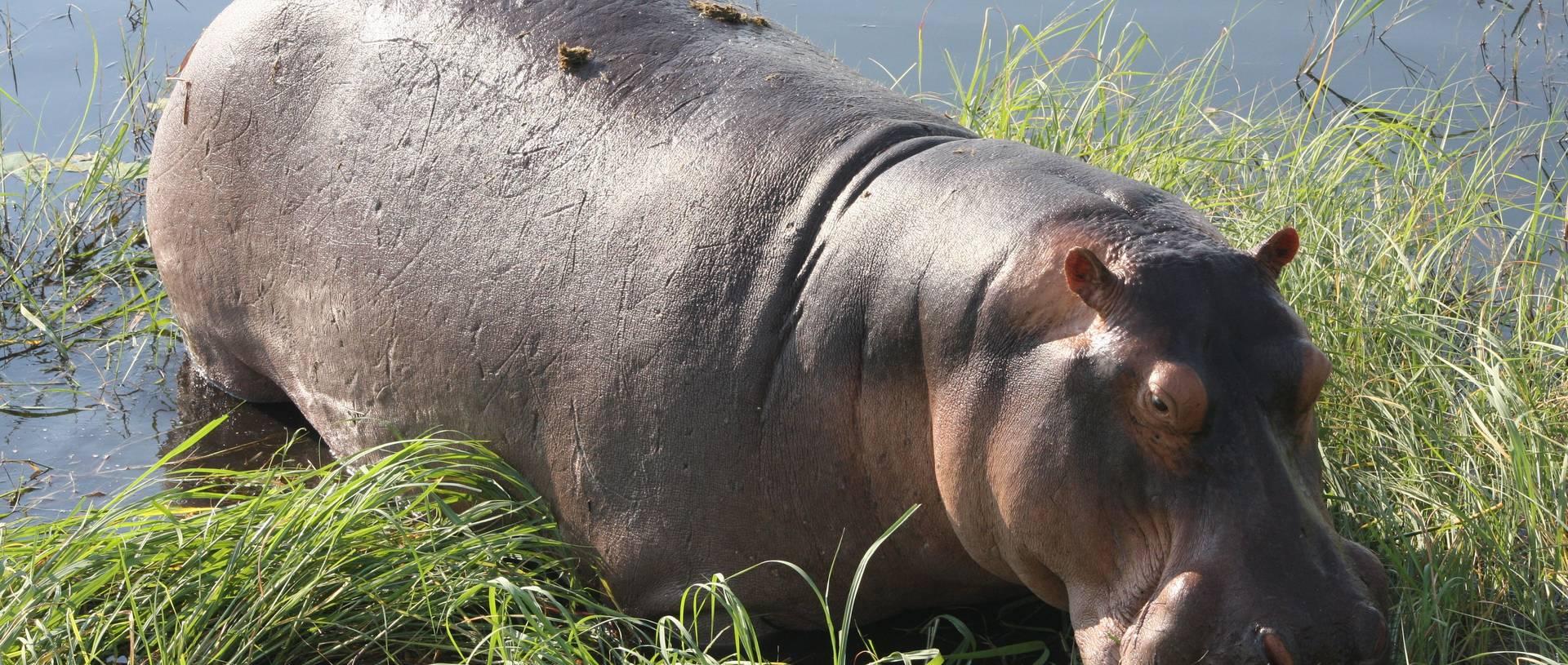 Hippo'S On Chobe River