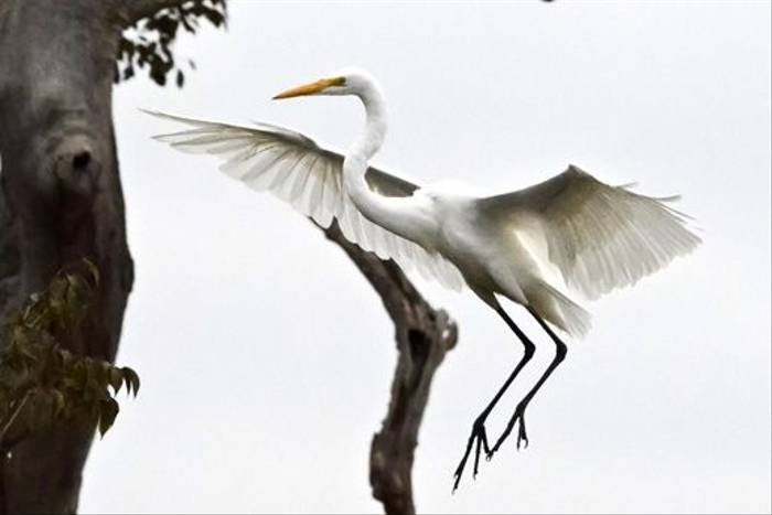 Great Egret (Ian Bruce)