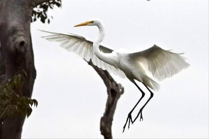 Great Egret (Ian Bruce)