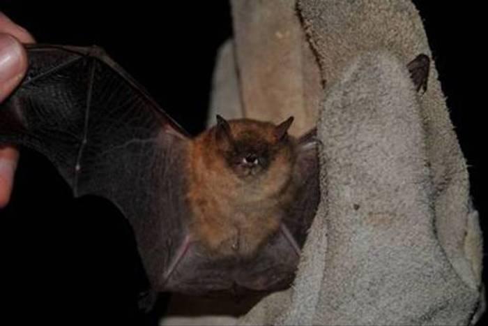 Pond Bat (Jon Stokes)