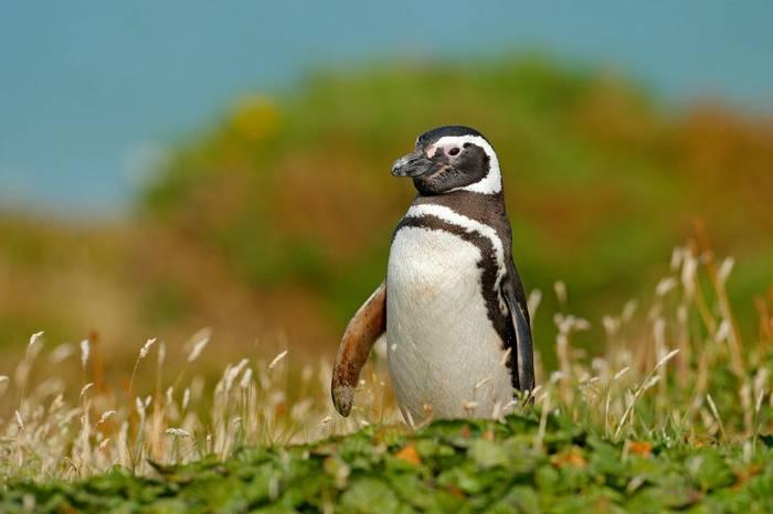Falkland Islands (Magellanic Penguin)