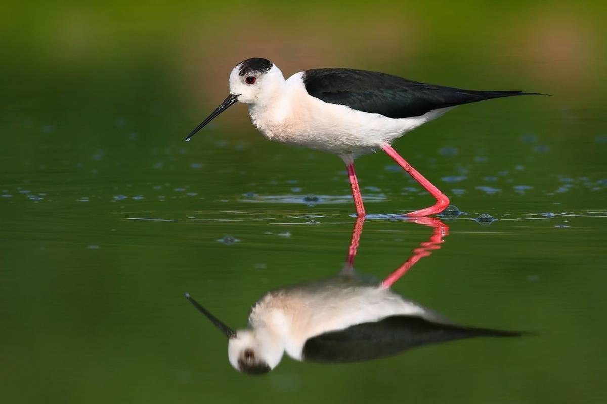 Black-winged Stilt (Peter Gyure).jpg