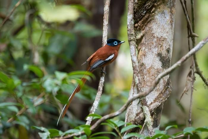 Malagasy Paradise Flycatcher, Madagascar shutterstock_538385785.jpg
