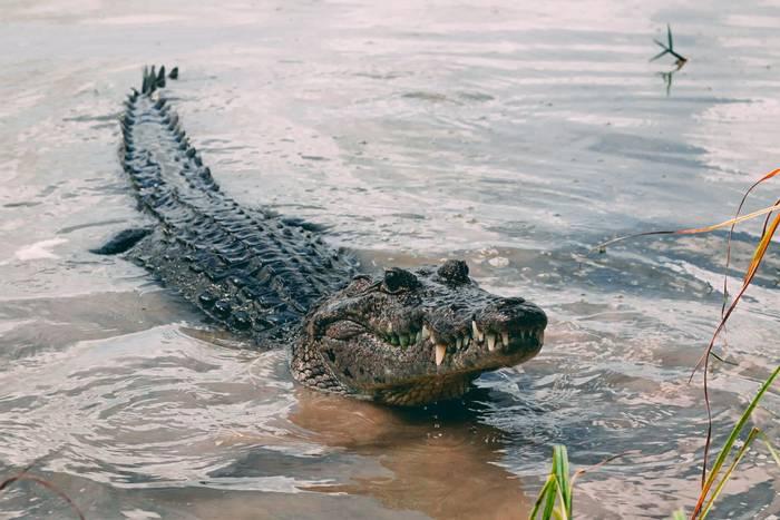 Morelet's Crocodile, Mexico shutterstock_1705408159.jpg