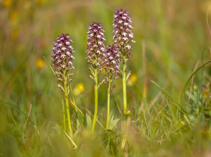 Burnt-tip Orchid Shutterstock 777322687