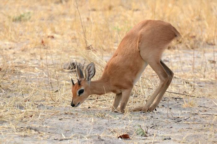 Steenbok (Rob Thatcher)