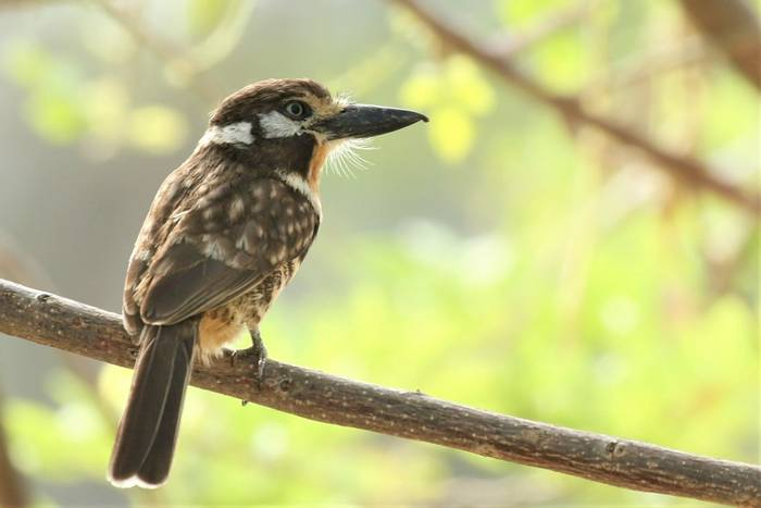 Russet-throated Puffbird (Rob Smith).JPG
