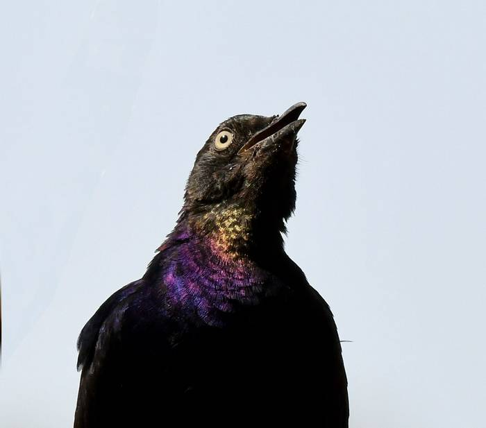 R++ppell's Starling 2_edited.jpeg