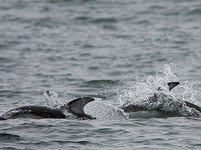 Pacific White-sided Dolphin (Peter Dunn)