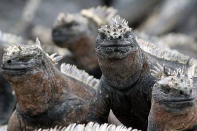 Marine Iguana by Jenny Willsher