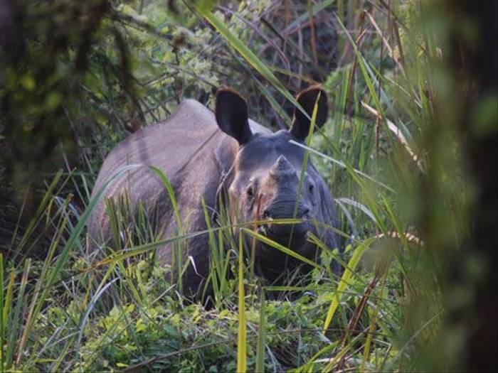 Indian One-horned Rhinoceros (Thomas Mills)