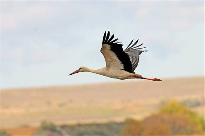 White Stork (David Morris)