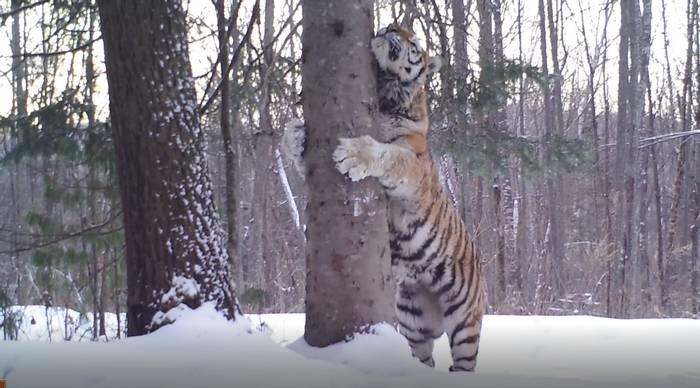 Camera Trap Still Of Durminskoye's Dominant Male Siberian Tiger