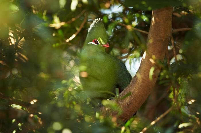 Green Turaco Shutterstock 459694270