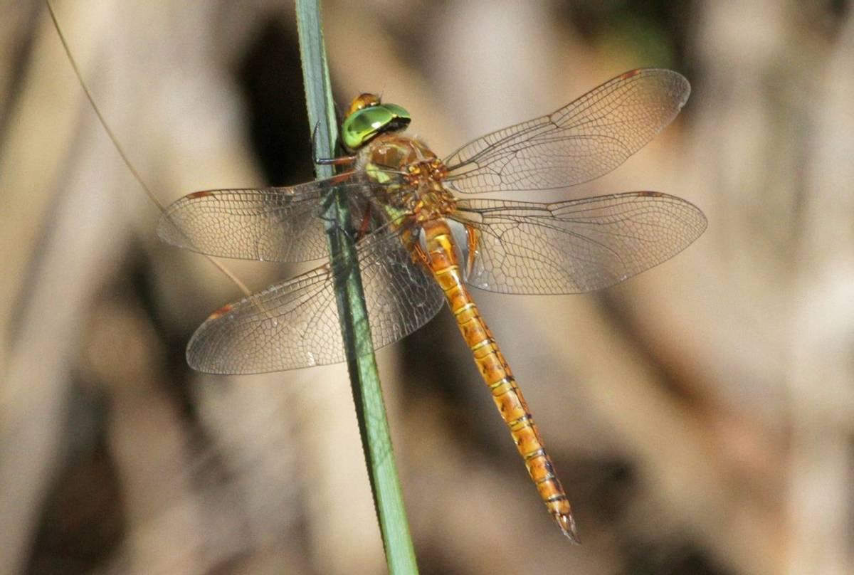 Green-eyed-Hawker.jpg