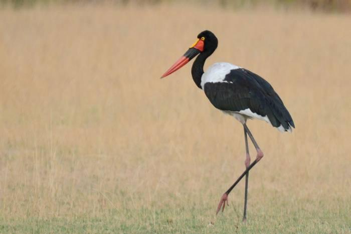 Saddle Billed Stork (Rob Thatcher)