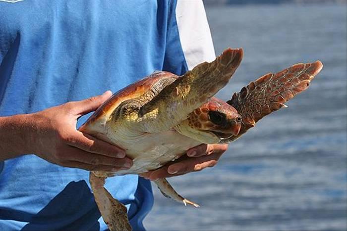 Loggerhead Turtle (Tom Brereton)