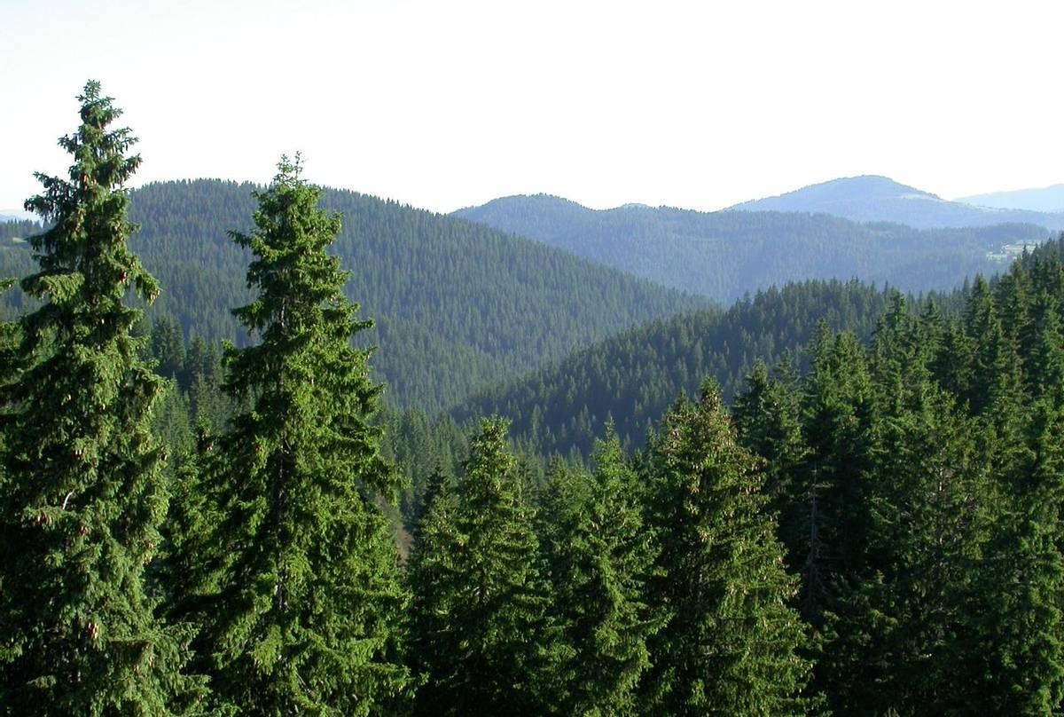 Pamporovo forest
