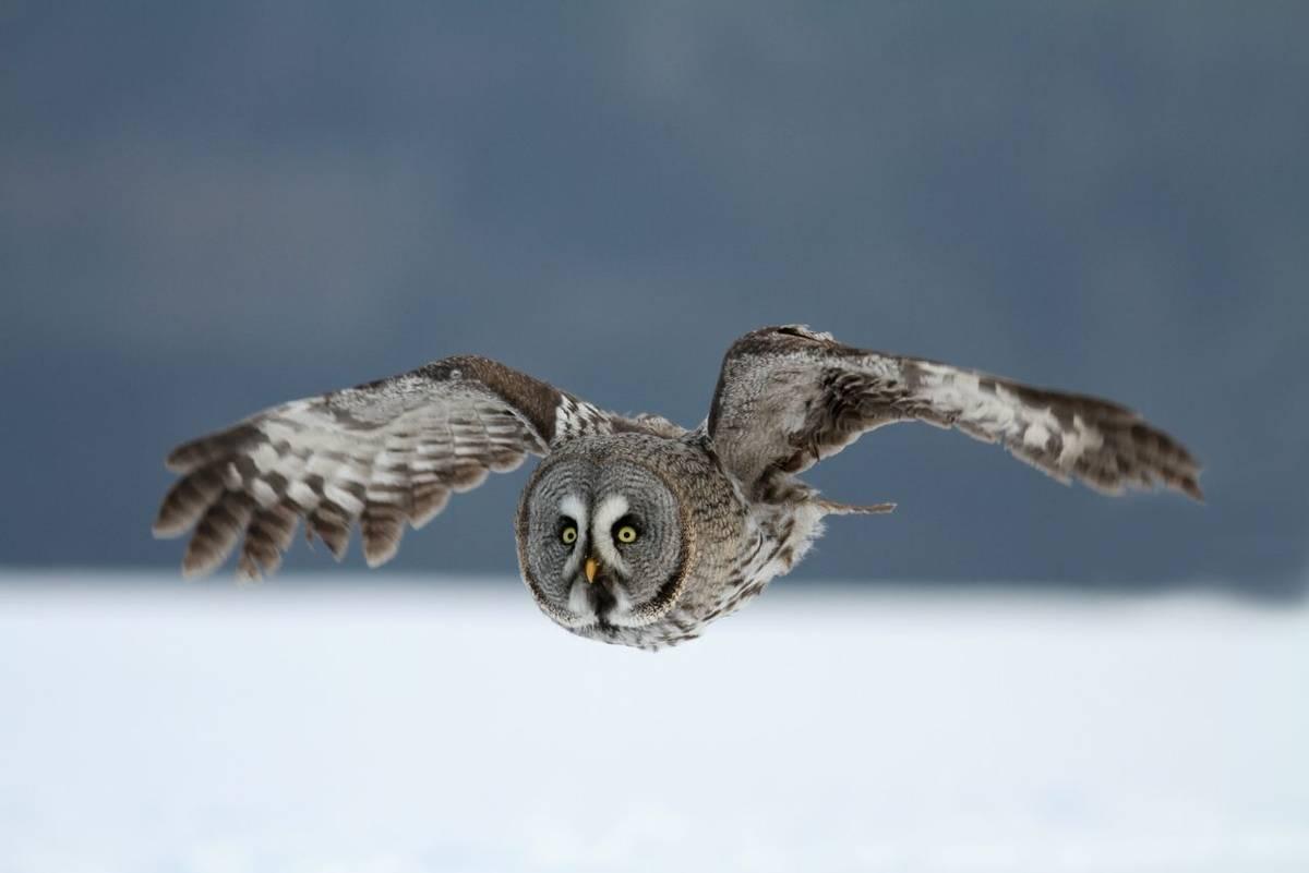 Great Grey Owl shutterstock_150484769.jpg