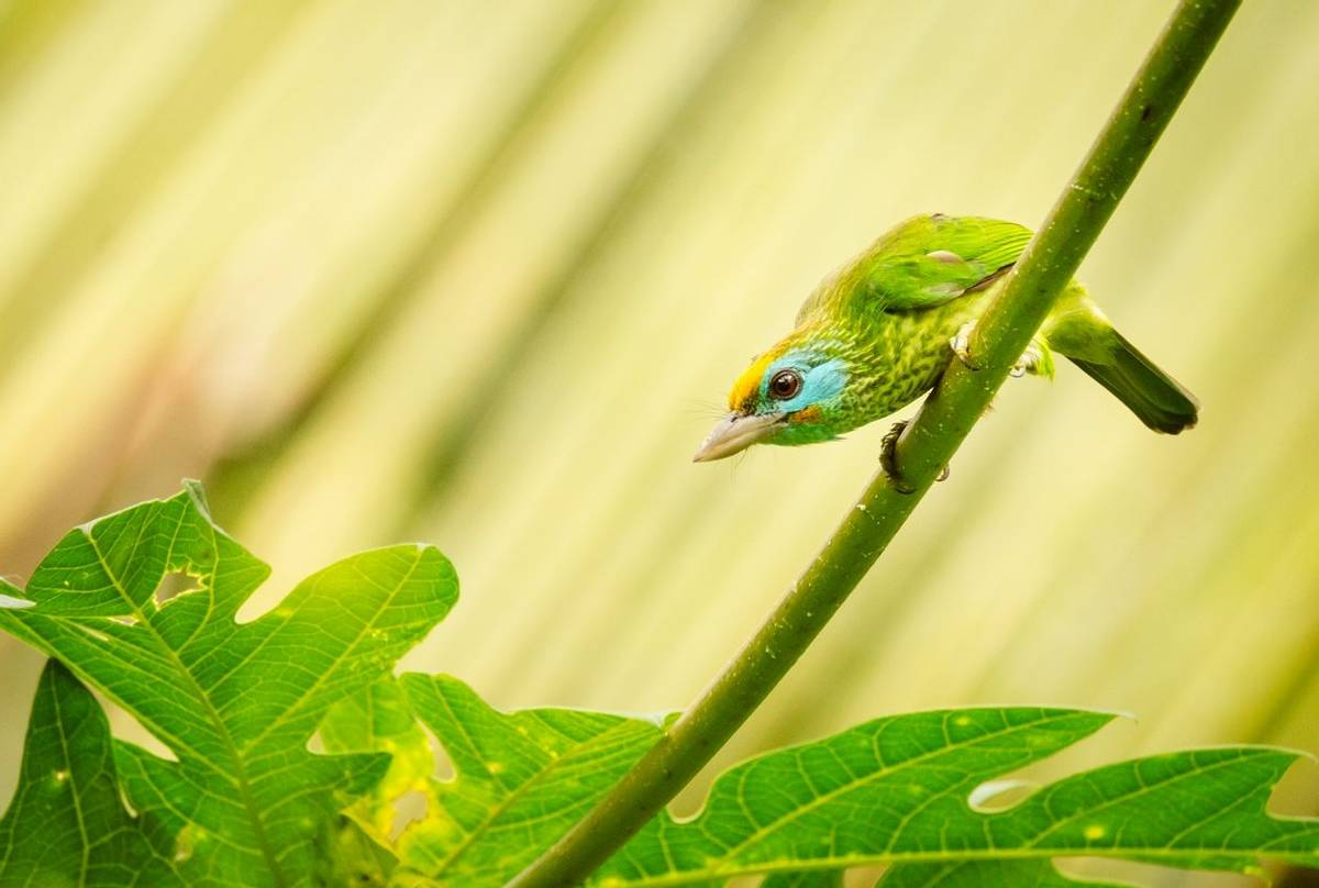 Yellow Fronted Barbet, Sri Lanka Shutterstock 1146475895