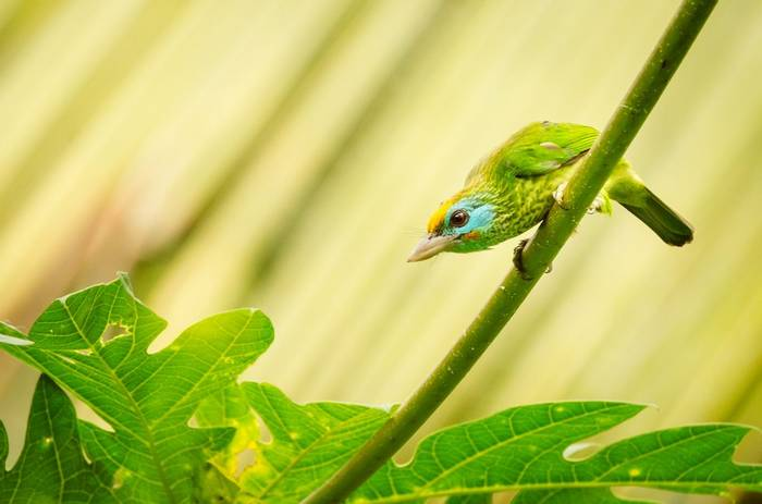 Yellow Fronted Barbet, Sri Lanka Shutterstock 1146475895
