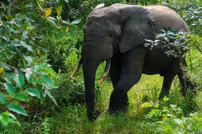 African Forest Elephant, Mole National Park, Ghana shutterstock_1203237319.jpg