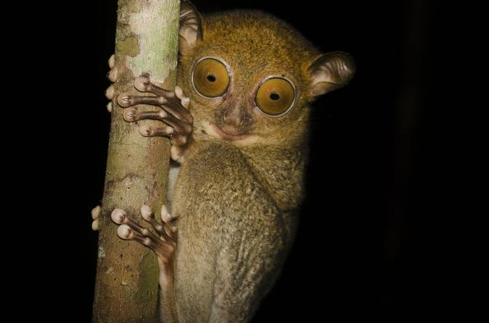 Western Tarsier (photographed by Mike Gordon)