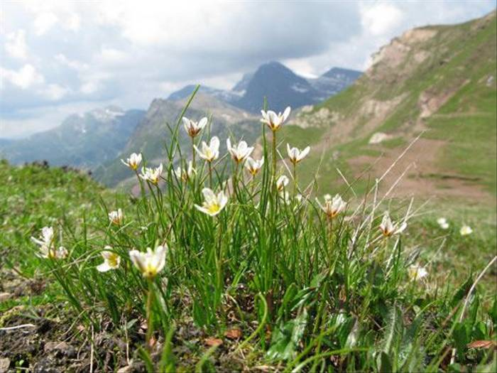 Lloydia serotina - Snowdon Lily (Paul Harmes)