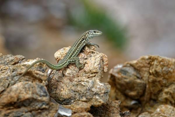 Tyrrhenian Wall Lizard shutterstock_1835382766.jpg
