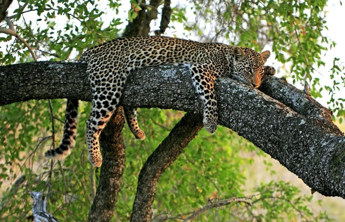 Leopard Shutterstock 141311467
