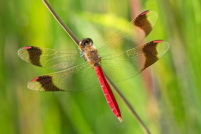 Banded Darter dragonfly, Poland shutterstock_693557341.jpg