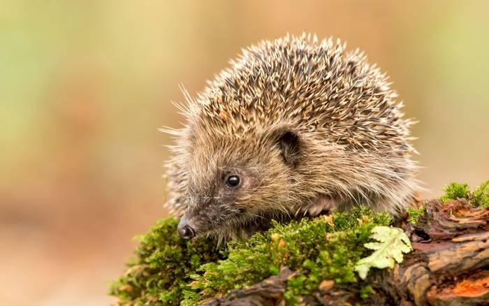 European Hedgehog, UK shutterstock_1011710455.jpg
