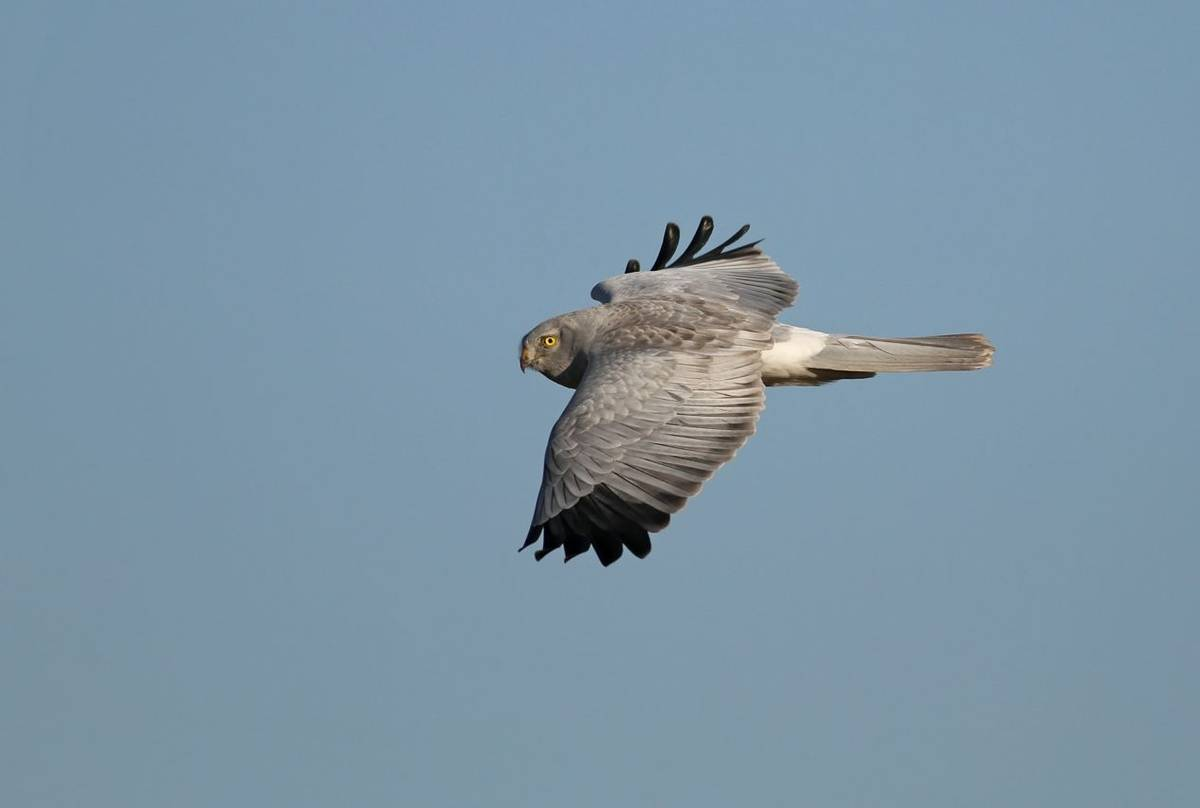 Male Hen Harrier. Shutterstock 92256166