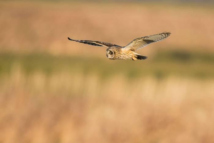 Short-eared Owl shutterstock_273170204.jpg